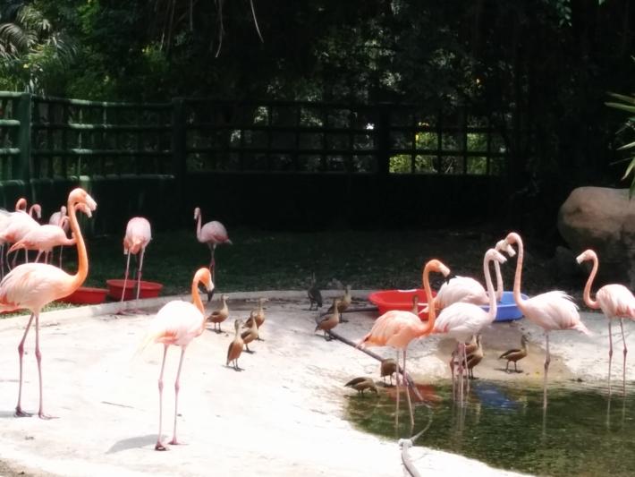 ブンソアイ公園・フラミンゴ