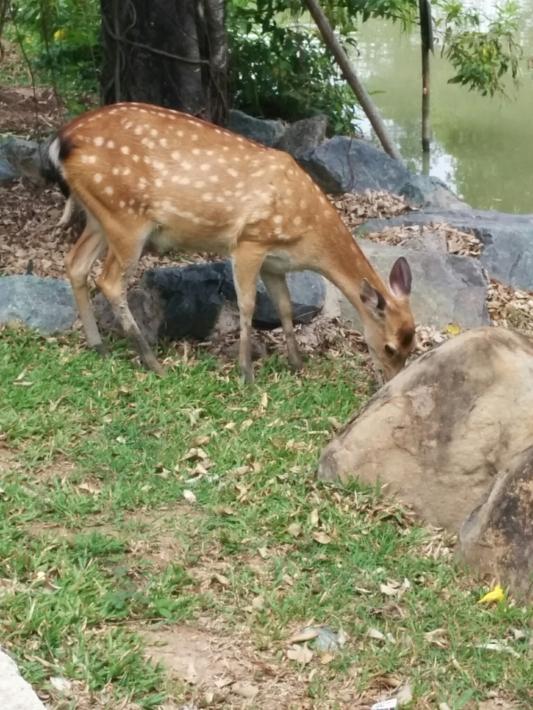 ブンソアイ公園・鹿